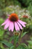 Echinacea en el jardín. Fotografía de archivo
