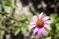 Echinacea en fleur images libres de droits