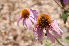 Echinacea en fleur photographie stock libre de droits