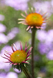 Echinacea en la floración imagen de archivo