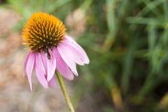 Echinacea en la floración foto de archivo libre de regalías