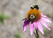 Echinacea en la floración fotos de archivo libres de regalías