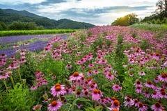 Echinacea en lavendelgebied Stock Afbeelding