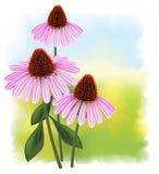 Echinacea en un fondo a todo color. Fotos de archivo libres de regalías