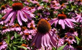 Echinacea-Feld Stockfotos