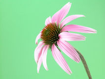 Echinacea flower royalty free stock images