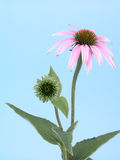 Echinacea flower stock images