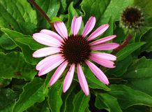 Echinacea Flower Royalty Free Stock Photo