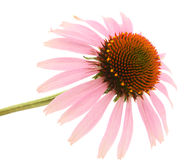 Echinacea flower Stock Photo