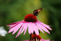 Echinacea flower. Detail of echinacea flower with a butterfly on it Royalty Free Stock Photos