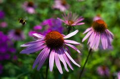 Echinacea flower Stock Photos