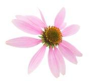 Free Echinacea Flower Stock Images - 35244844