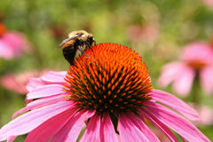 Echinacea Flower with Bee Royalty Free Stock Images
