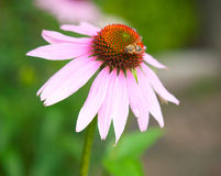 Echinacea Flower with Bee Stock Photo