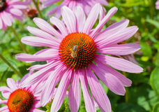 Echinacea flower with a bee. On a green background stock images