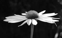 Echinacea flower (black and white) Royalty Free Stock Photos