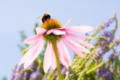 Echinacea flower with bumblebee. Pink Echinacea flower with bumblebee Royalty Free Stock Photography