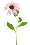 Echinacea Flower (coneflower) Royalty Free Stock Photo
