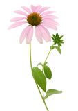 Echinacea Flower (coneflower) Stock Photos