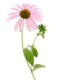 Echinacea Flower (coneflower) Stock Photos