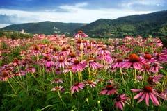 Echinacea flower field Stock Photos
