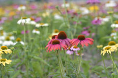 Echinacea flower in field. Echinacea flowers with mixed colors in a field Stock Image
