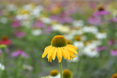 Echinacea flower in field. Echinacea flowers with mixed colors in a field Royalty Free Stock Photos