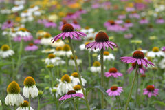 Echinacea flower in field. Echinacea flowers with mixed colors in a field Stock Images