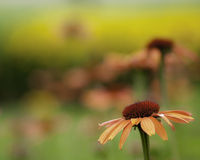 Echinacea flower. S, cultivated in a garden Royalty Free Stock Images