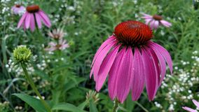 Echinacea Flower in Full Bloom after a Rain. These Echinacea Flowers were blooming amoungst a field of various wild flowers and grasses. The bud is the initial Stock Photo