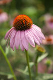 Echinacea flower in a garden Royalty Free Stock Photo