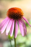Echinacea. Flower in the garden Stock Photos
