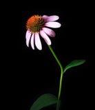 Echinacea Flower isolated on black backdrop stock photo