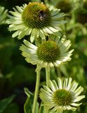 Echinacea flower. Photo of a echinacea flower Stock Photos