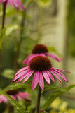 Echinacea flower pink in summer garden Stock Photos
