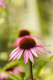 Echinacea flower pink in summer garden Royalty Free Stock Photos