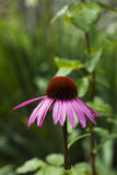 Echinacea flower pink in summer garden Stock Image