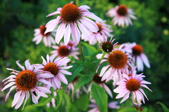 Echinacea flower. Popular herbal remedy Stock Images