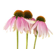 Echinacea flower. On a white background Stock Photo