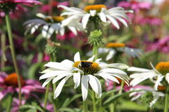 Echinacea flowers. Beautiful Echinacea flowers with the bee close up Royalty Free Stock Image