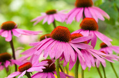 Echinacea flowers Royalty Free Stock Image