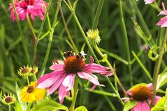Echinacea Flowers. Pink Echinacea flowers with visiting bumble bees in Summer Stock Photography