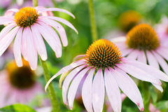 Echinacea flowers against green background Stock Images