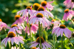 Echinacea flowers against green background Stock Photography