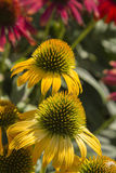 Echinacea Flowers. Close-up of Echinacea flowers growing in the sunshine Royalty Free Stock Photography