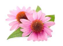 Echinacea flowers Royalty Free Stock Photos