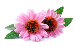Echinacea flowers. Echinacea flowers close up isolated on white backgrounds. Medicinal plant Royalty Free Stock Photos