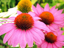 Echinacea flowers. Close-up of pink echinacea flowers in a flower bed Stock Photography