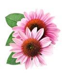Echinacea flowers closeup. Royalty Free Stock Photography