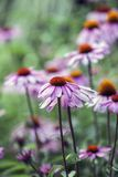 Echinacea flowers in garden Royalty Free Stock Photos
